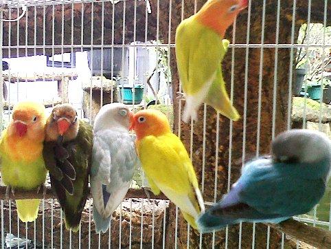 burung lovebird ring bbf
